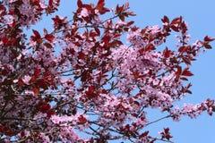 Cereza floreciente (Sakura) Imágenes de archivo libres de regalías