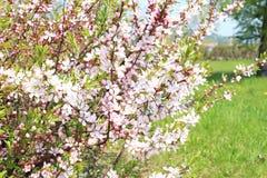 Cereza floreciente sentida en mayo Fotos de archivo libres de regalías