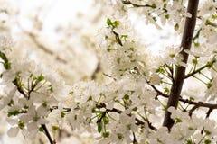 Cereza floreciente temprana con las flores blancas fotos de archivo libres de regalías