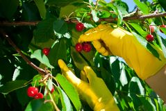 Cereza grande madura rosada roja en una rama, manos en guantes de goma amarillos Fotografía de archivo libre de regalías