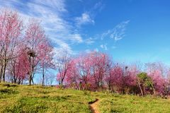 Cereza Himalayan salvaje (cerasoides del Prunus) en Phu Lom Lo Foto de archivo libre de regalías