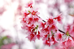 Cereza Himalayan salvaje (cerasoides) del Prunus (Sakura en Tailandia Foto de archivo libre de regalías