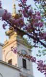 Cereza japonesa Foto de archivo