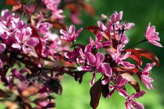 Cereza japonesa floreciente Fotos de archivo libres de regalías