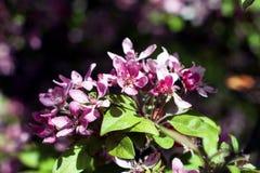 Cereza japonesa floreciente Foto de archivo