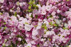 Cereza japonesa floreciente en primavera Fotos de archivo libres de regalías