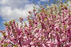 Cereza japonesa floreciente en primavera Fotografía de archivo