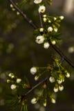 Cereza japonesa floreciente hermosa - Sakura Fotografía de archivo libre de regalías
