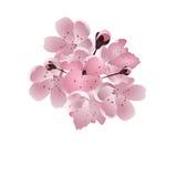 Cereza japonesa Ramo de flor rosado de Sakura con el brote Aislado en el fondo blanco Fotos de archivo libres de regalías