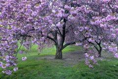 Cereza japonesa, serrulata del Prunus Imagen de archivo libre de regalías