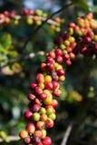 Cereza madura del café Foto de archivo libre de regalías