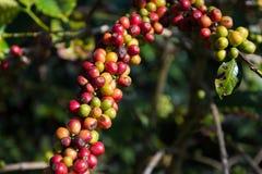 Cereza madura del café Fotos de archivo libres de regalías