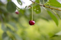 Cereza madura en el árbol fotos de archivo libres de regalías