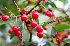 Cereza madura roja del vintage en árbol Cultivo del cherries_ foto de archivo