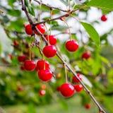 Cereza madura roja en una rama de árbol, format_ cuadrado de las bayas fotos de archivo