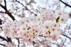 Cereza maravillosamente floreciente Fotografía de archivo