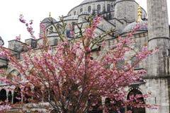 Cereza oriental floreciente contra la perspectiva de un fragmento de Sultan Ahmed Mosque Estambul, Turquía Fotografía de archivo