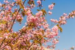 Cereza que florece en la sol Primavera y concepto tranquilo de la naturaleza imágenes de archivo libres de regalías