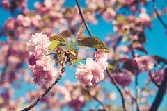 Cereza que florece en la sol Primavera y concepto tranquilo de la naturaleza fotografía de archivo