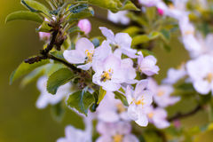 Cereza que florece, flores rosadas blancas de la primavera cerca para arriba, Sakura, día de primavera hermoso Fotografía de archivo