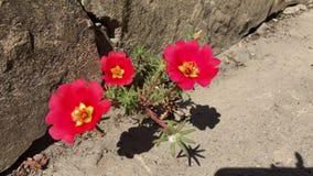 Cereza roja de Portulaca de la flor en el encintado almacen de video