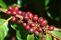 Cereza roja del café en árbol Imágenes de archivo libres de regalías