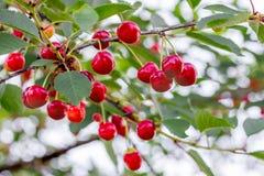Cereza roja madura de las bayas en las ramas del tree_ imagen de archivo libre de regalías