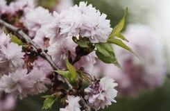 Cereza rosada Imagen de archivo