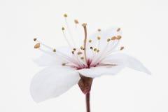 Cereza salvaje Foto de archivo