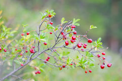Cereza salvaje roja imagen de archivo