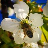 Cereza y abeja Imagenes de archivo