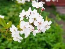 Cereza y manzanos florecientes en la primavera, el espacio para el texto, saludos en día feliz del ` s de las mujeres Fotos de archivo libres de regalías