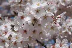 Cereza y una abeja Imágenes de archivo libres de regalías