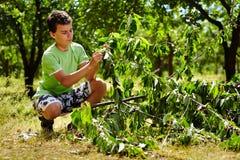 Cerezas adolescentes de la cosecha del niño fotos de archivo