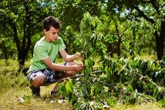 Cerezas adolescentes de la cosecha del niño imagen de archivo libre de regalías