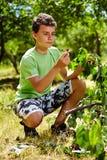 Cerezas adolescentes de la cosecha del niño foto de archivo