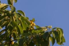 Cerezas amarillas en fondo del cielo azul Fotografía de archivo