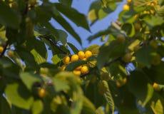 Cerezas amarillas en fondo del cielo azul Fotos de archivo libres de regalías
