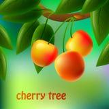 Cerezas amarillas, jugosas, dulces en una rama para su diseño Imagen de archivo libre de regalías