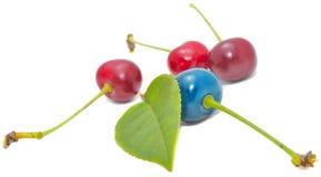 Cerezas azules y rojas con la hoja verde Foto de archivo libre de regalías