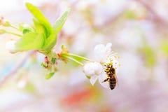 Cerezas blancas florecientes Imagen de archivo libre de regalías