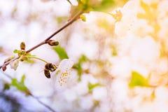 Cerezas blancas florecientes Fotografía de archivo