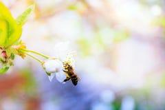Cerezas blancas florecientes Fotografía de archivo libre de regalías