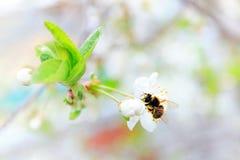 Cerezas blancas florecientes con una abeja Fotografía de archivo libre de regalías