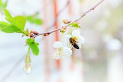 cerezas blancas florecientes en día de primavera soleado Foto de archivo libre de regalías