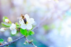 Cerezas blancas florecientes en un fondo borroso Fotografía de archivo libre de regalías