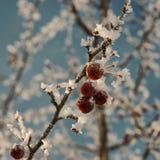 Cerezas congeladas Fotos de archivo