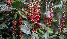 Cerezas crecientes del café Fotos de archivo libres de regalías