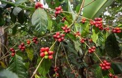 Cerezas crecientes del café Fotografía de archivo