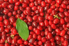Cerezas de cornalina (mas del Cornus) Foto de archivo